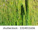 algae or seaweed stuck to the... | Shutterstock . vector #1314011636