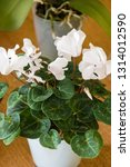 Small photo of Cyclamen - White flowers with green leaves - roomy.