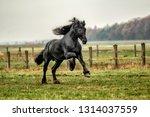 beautiful friesian stallion   Shutterstock . vector #1314037559