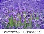lavender on a field in detail | Shutterstock . vector #1314090116