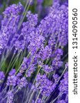 lavender on a field in detail | Shutterstock . vector #1314090560