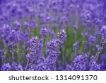 lavender on a field in detail | Shutterstock . vector #1314091370