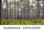 Apalachicola National fores, florida, usa view of palmettos and tall pines