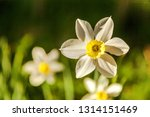 blooming narcissus daffodils....   Shutterstock . vector #1314151469