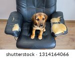 Stock photo naughty playful puppy dog after biting a couch tired of hard work 1314164066
