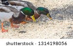 Two Colorful Male Mallard Ducks ...