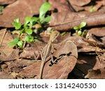 close up of brown lizard... | Shutterstock . vector #1314240530