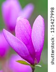 Pink magnolia flower on blur background.  shallow depth of field - stock photo