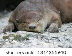 smooth coated otter sleeps on... | Shutterstock . vector #1314355640