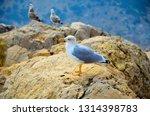 Seagull Bird Standing Feet On...