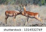impala antelopes in the kruger... | Shutterstock . vector #1314532769