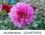 Chrysanthemum Flower   Garden...