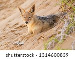 black backed jackal   canis... | Shutterstock . vector #1314600839
