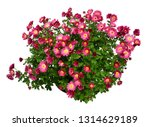 Chrysanthemum Flowers Pink...
