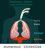respiratory system. lungs and... | Shutterstock .eps vector #1314642266