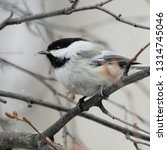 black capped chickadee  poecile ... | Shutterstock . vector #1314745046