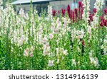 colorful flower of snapdragon... | Shutterstock . vector #1314916139