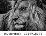 the lion king  profile portrait ... | Shutterstock . vector #1314918176