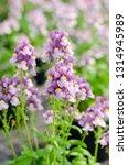 beautiful nemesia fruticans... | Shutterstock . vector #1314945989