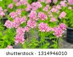 beautiful nemesia fruticans... | Shutterstock . vector #1314946010
