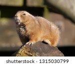 black tailed prairie dog | Shutterstock . vector #1315030799