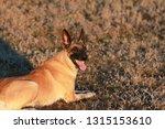 portrait of a beautiful dog...   Shutterstock . vector #1315153610