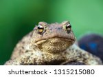 Portrait of cute spadefoot toad with bright yellow eyes looking at the camera. Eastern spadefoot toad on green background