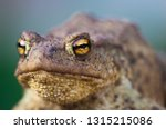 Portrait of cute spadefoot toad with bright yellow eyes looking at the camera. Eastern spadefoot toad on green and blue background