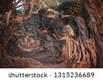 big and old ancient  olive tree ... | Shutterstock . vector #1315236689
