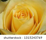 Yellow Rose Close Up Image