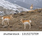 Three Pronghorn Antelope On A...