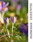 close up of beautiful flowering ...   Shutterstock . vector #1315274753