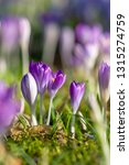close up of beautiful flowering ...   Shutterstock . vector #1315274759