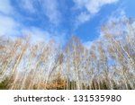 Tall Birch Trees Forest Wall I...