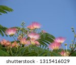 mimosa ashamed on blue sky... | Shutterstock . vector #1315416029