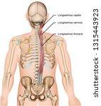 longissimus muscle 3d medical... | Shutterstock .eps vector #1315443923
