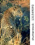 Photos Of Africa  Leopard From...