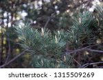 green pine branches with needle ... | Shutterstock . vector #1315509269