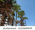 sugar palm tree in the garden | Shutterstock . vector #1315600949