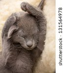 Stock photo kitten sleeping russian blue cat 131564978