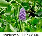 water hyacinth flower. water...   Shutterstock . vector #1315954136