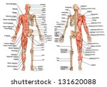 human skeleton from the... | Shutterstock .eps vector #131620088