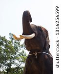 elephant with tusks | Shutterstock . vector #1316256599