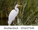 Snowy Egret In Natural Habitat...