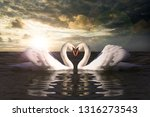 love swans while curling   Shutterstock . vector #1316273543