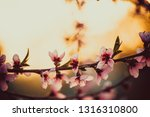 beautiful blooming peach trees... | Shutterstock . vector #1316310800