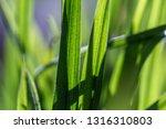 green grass macro close up | Shutterstock . vector #1316310803