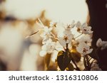 flowers on pear branches in... | Shutterstock . vector #1316310806