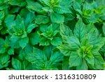 fresh green mint plant grow at... | Shutterstock . vector #1316310809