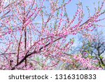 beautiful blooming peach trees... | Shutterstock . vector #1316310833